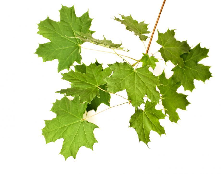 leaves[1]
